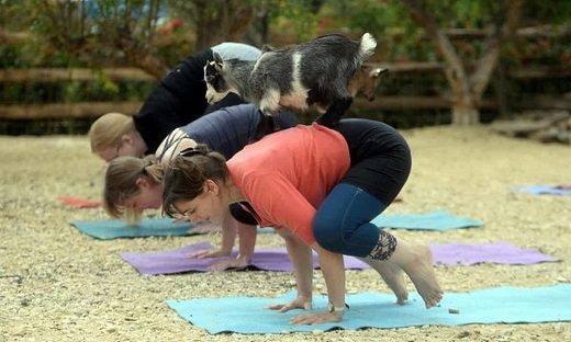 Happy hormones: Goat yoga – the greatest of all time or a passing fad?