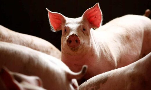 'Worst outbreak ever': Nearly a million pigs culled in Nigeria due to swine fever